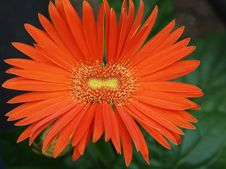 Free Smile Gerbera Stock Photos - 20879763
