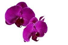 Free Pink Orchid - Isolated Royalty Free Stock Image - 20879836