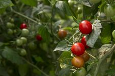 Free Tomatoes Growing Stock Photography - 20879922