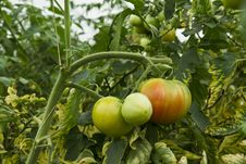 Free Tomatoes Growing Royalty Free Stock Image - 20879956