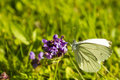 Free Pieridae Butterfly At Flower Stock Photo - 20882490
