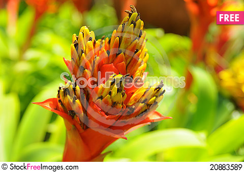 Free Pineapple Blossom Royalty Free Stock Images - 20883589