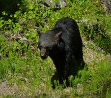 Free Black Bear Walking Stock Photography - 20880422