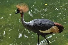 Free Grey Crowned Crane Royalty Free Stock Images - 20880699
