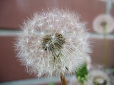 Free White Blossoming Of Dandelion Stock Photography - 20881952