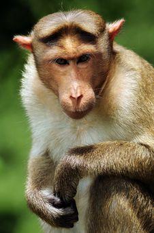 Bonnet Macaque Portrait Royalty Free Stock Photos