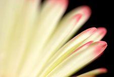 Close-up Of Gerber Petals Stock Photography
