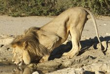 Free Male Lion Drinking Royalty Free Stock Images - 20885029