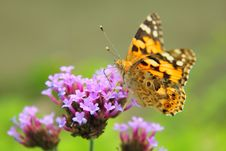 Free Orange Butterfly Royalty Free Stock Images - 20886109