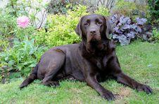 Free Chocolate Labrador Royalty Free Stock Photo - 20887325