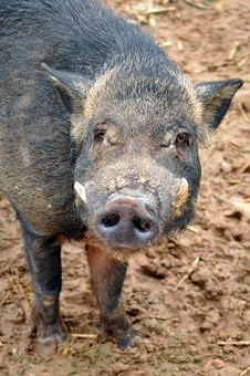 Free Wild Boar Royalty Free Stock Photos - 20887598