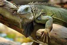 Free Green Iguana Stock Images - 20887704