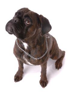Sitting Boxer Dog Stock Photography