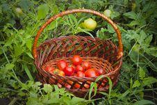 Free Basket Of Tomatoes Stock Photos - 20888763