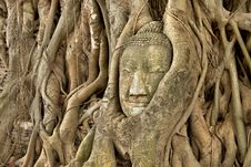 Free Head Of Sandstone Buddha In Roots Of Banyan Tree Stock Photo - 20889510