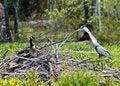 Free Heron Vrs Goose Stock Image - 20895291