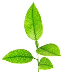 Free Image Of Green Plant Isolated Over White Royalty Free Stock Images - 20890039