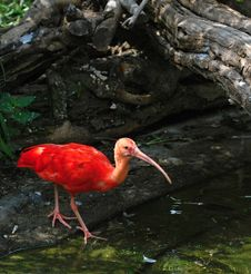 Free Scarlet Ibis (Eudocimus Ruber) Royalty Free Stock Photography - 20891047