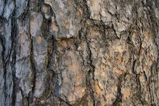 Free Cortex Old Tree Close-up Royalty Free Stock Image - 20891756
