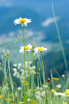 Free Beautiful Wild Chamomiles In Mountains Royalty Free Stock Images - 20892099