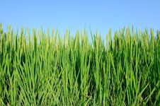Free Paddy Rice Royalty Free Stock Images - 20892669