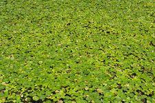 Free Water Hyacinth Stock Photography - 20893082