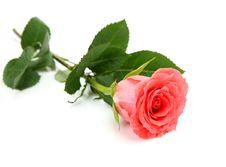 Free Pink Rose Royalty Free Stock Photos - 20893268