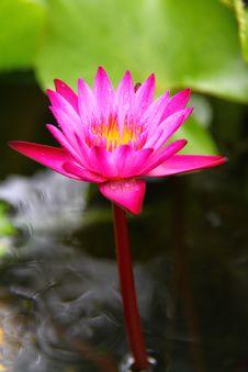 Free Beautiful Pink Water Lily Stock Photo - 20893870
