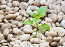 Free Small Plant Grow Up On  Gravel Royalty Free Stock Images - 20894019