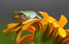 Free Gray Tree Frog Stock Photography - 20894902