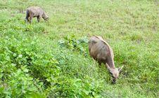 Buffalo In Thailand Stock Photos