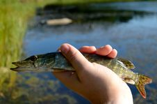 Free Pike In The Hand Stock Image - 20896661