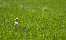 Free Cattle Egret Stock Images - 20897034