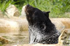 Himalayan Black Bear Stock Photo