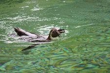 Free Humboldt Penguin Royalty Free Stock Photo - 20897255