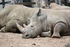 Free White Rhinoceros Royalty Free Stock Images - 20897329
