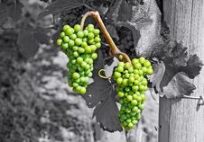 Free Grape Bunches Royalty Free Stock Photography - 20897477