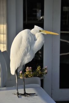 Free Great Egret Royalty Free Stock Photography - 20897697