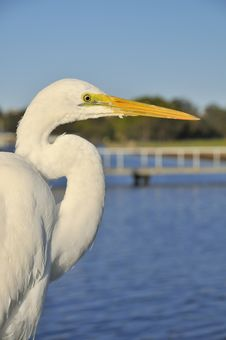 Free Closeup Of Great Egret Stock Photography - 20897712