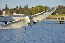 Free Great Egret Spreading Wings Royalty Free Stock Photo - 20897725