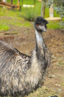 Free Big Emu Stock Photo - 20897800