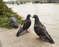 Free Three Pigeons Royalty Free Stock Photography - 20898257