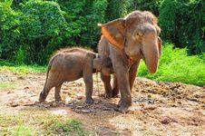Free Baby Thai Elephant Nursing Stock Photo - 20899340
