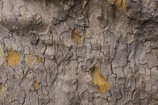 Free Old Tree Texture Royalty Free Stock Photography - 20899537