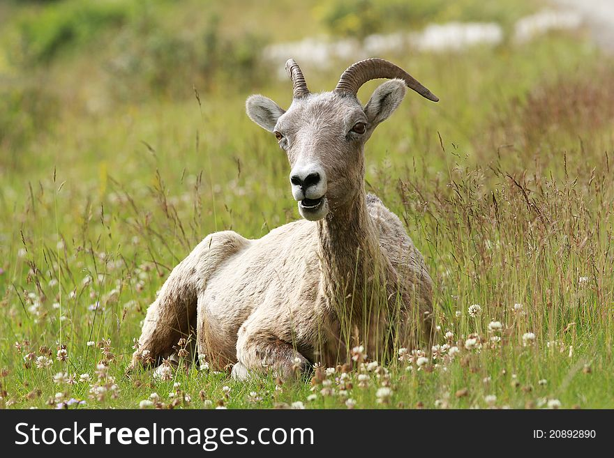 Rocky Mountain Bighorn Sheep Lying in a Meadow