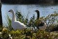 Free Geese At Lake Royalty Free Stock Photo - 2090275