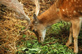 Free Close-up Shot Of The Deer Royalty Free Stock Photography - 2091147