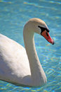Free White Swan Royalty Free Stock Images - 2093479
