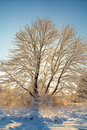 Free Wintering In Maple Royalty Free Stock Photo - 2095925