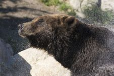 Grizzly Bear Shaking Water Off Royalty Free Stock Photography